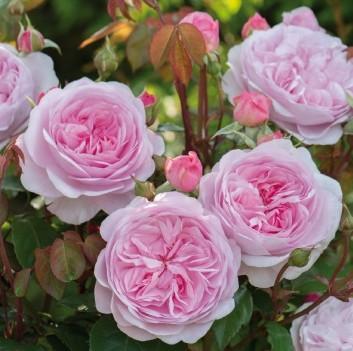 Розовая пионовидная роза