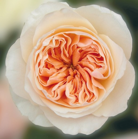 Дэвид остин пионовидные розы