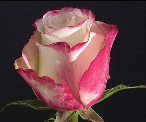 Роза свитнес 60 см эквадор доставка