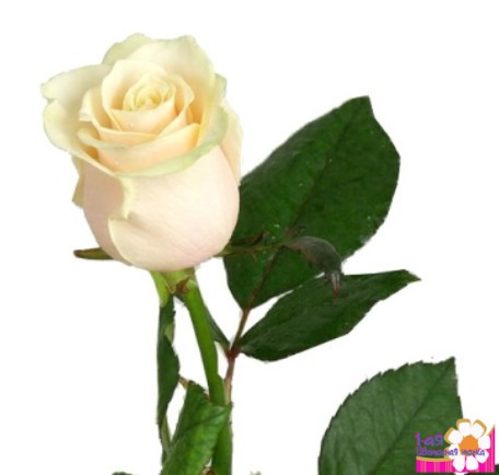 роза эквадор фото