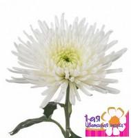 Хризантема одноголовая Анастасия Белая -  Доставка цветов, букетов, подарков. Студия флористики 1-ая Цветочная точка.