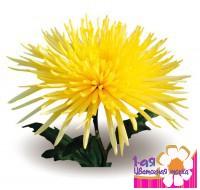 Хризантема Одноголовая Анастасия Желтая -  Доставка цветов, букетов, подарков. Студия флористики 1-ая Цветочная точка.