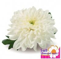 Хризантема Одноголовая Зембла Белая -  Доставка цветов, букетов, подарков. Студия флористики 1-ая Цветочная точка.
