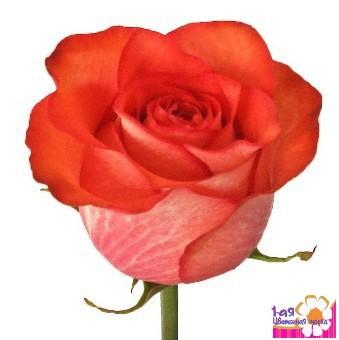 Роза игуана 60см эквадор доставка