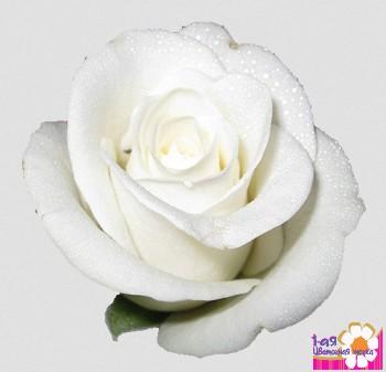 Роза белого цвета прауд эквадор